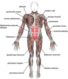 Muscle Specimen